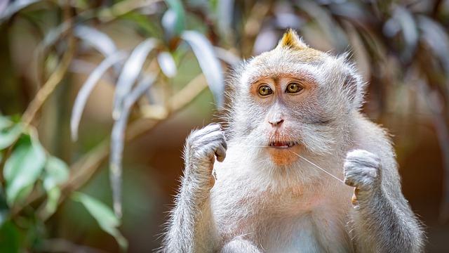 Affe mit Zahnseide